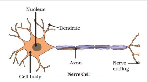 Class 8 Science Chapter 8 Cell Structure and Functions Extra Questions image 1