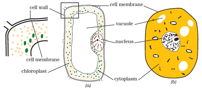 Class 8 Science Chapter 8 Cell Structure and Functions Extra Questions image 2