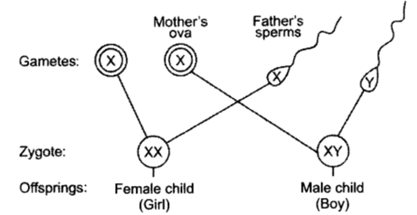 Class 10 Chapter 9 Heredity and Evolution Extra Questions 15