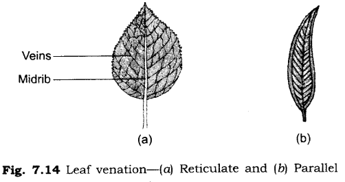 Important Questions for Class 6 Science Chapter 7 Getting to Know Plants 9