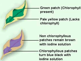 Important Questions for Class 7 Science Chapter 1 Nutrition in Plants image 9