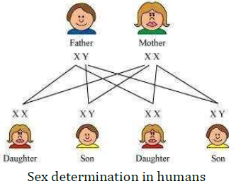 NCERT Solutions for Class 10 Science Chapter 9 Heredity and Evolution image 6