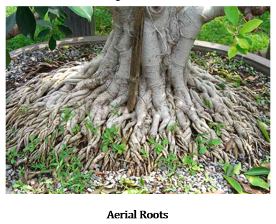 CBSE Class 6 Science Notes Chapter 7 Getting to Know Plants part 13