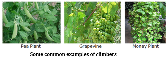 CBSE Class 6 Science Notes Chapter 7 Getting to Know Plants part 5