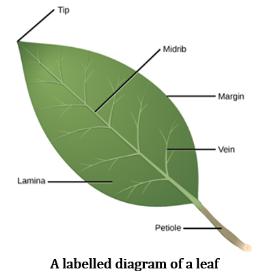 CBSE Class 6 Science Notes Chapter 7 Getting to Know Plants part 6